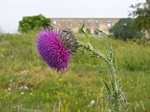 Musk Thistle, Nodding Thistle (Carduus nutans)